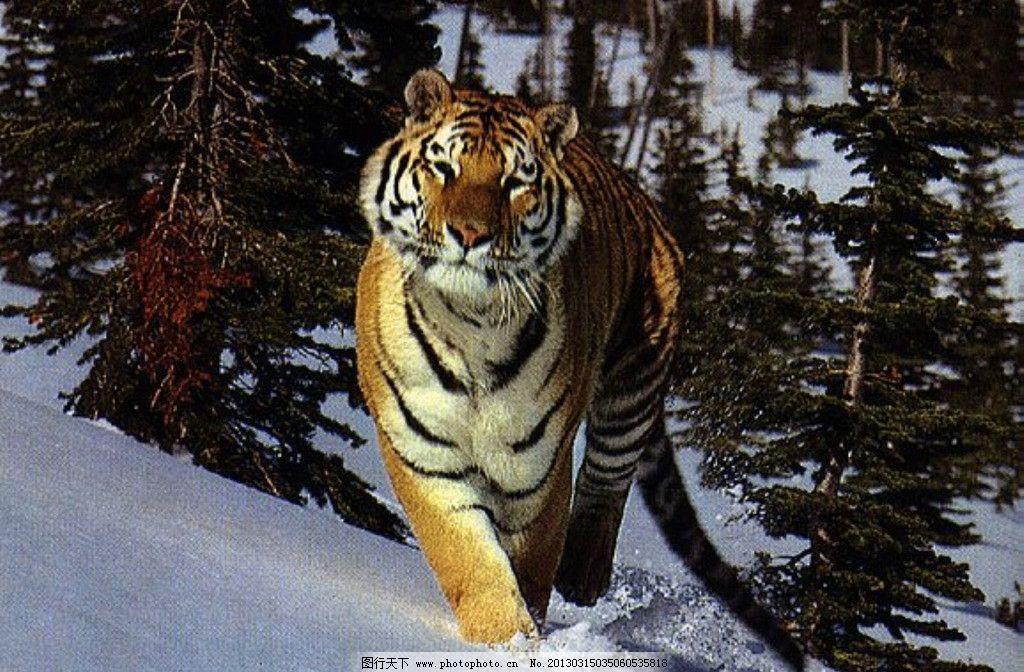 东北虎 虎 野生动物 生物世界