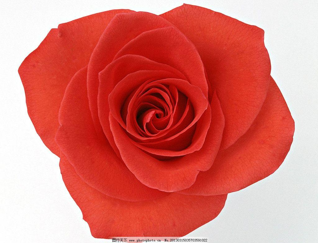 一朵红玫瑰 红玫瑰 玫瑰花 玫瑰 花朵 花草 生物世界 摄影 350dpi jpg