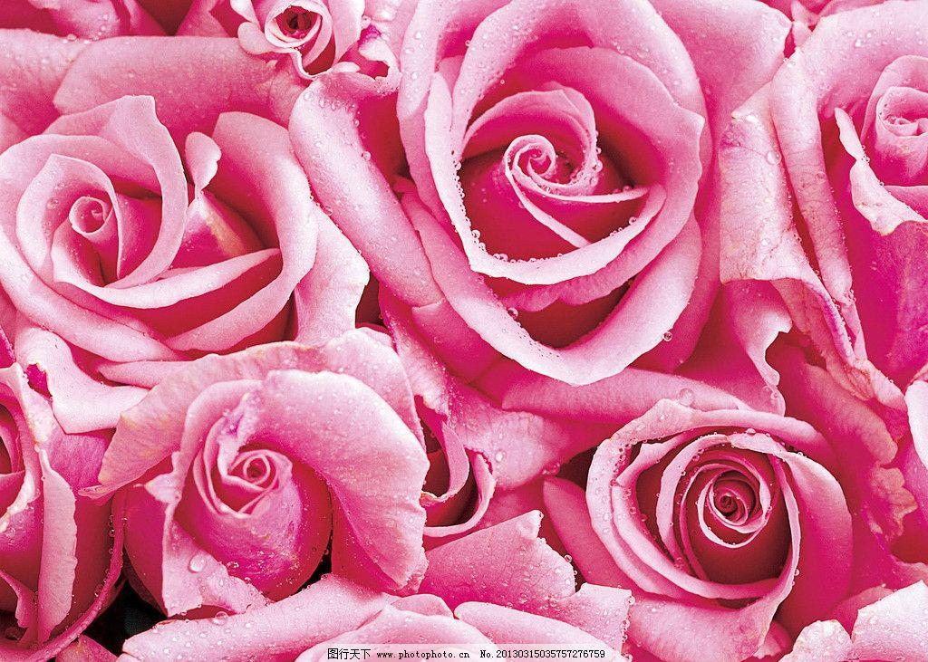 漂亮的玫瑰花图片