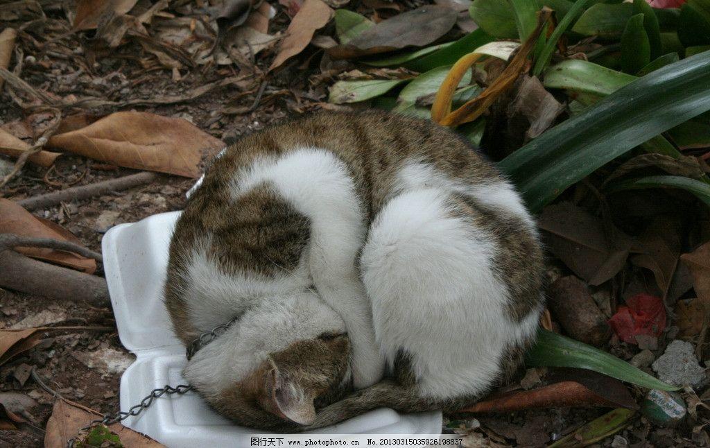 睡觉猫 猫 喵 猫猫 捕鼠能手 动物世界 家禽家畜 生物世界 摄影 72dpi