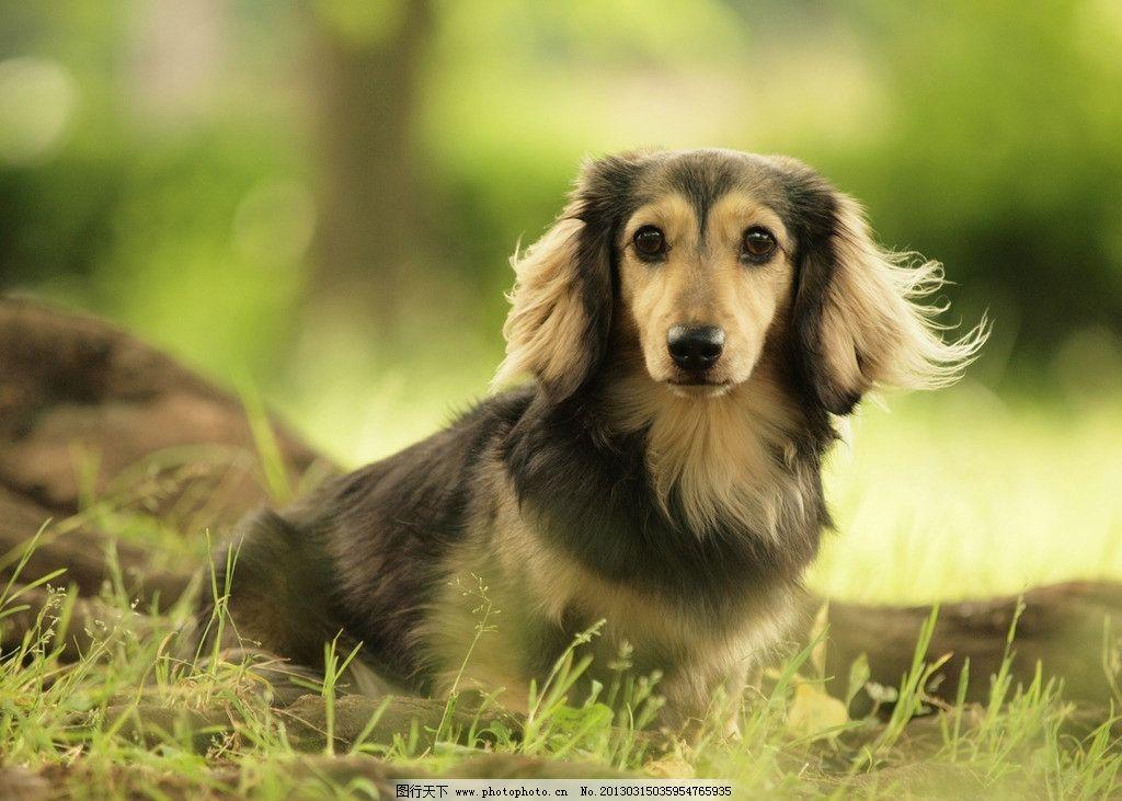 宠物狗 狗 小狗 可爱 树木 草 高清 摄影 300dpi jpg 家禽家畜 生物