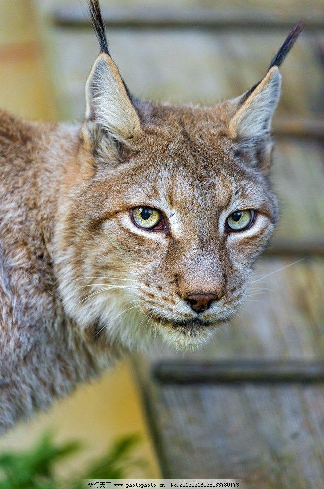 猞猁 猫科 动物 哺乳动物 野猫 山猫 野狸子 食肉目 猞猁属 野生动物