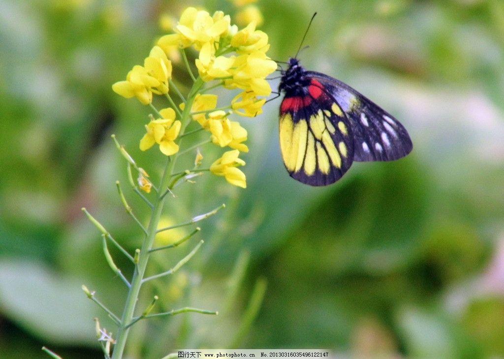蝴蝶黄花菜 植物 动物世界 生物拍摄 菜地土壤 昆虫 生物世界 摄影 96