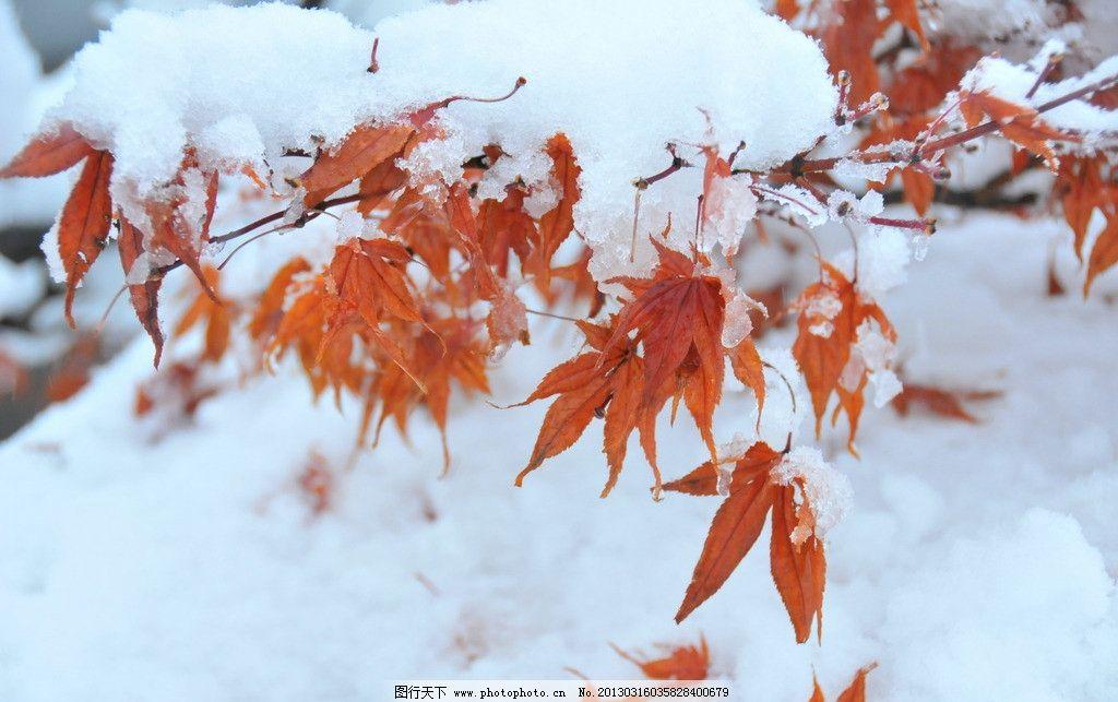 枫叶雪景 枫树 枫叶 雪 雪景 冬天的枫树 300dpi jpg 树木树叶 生物世图片