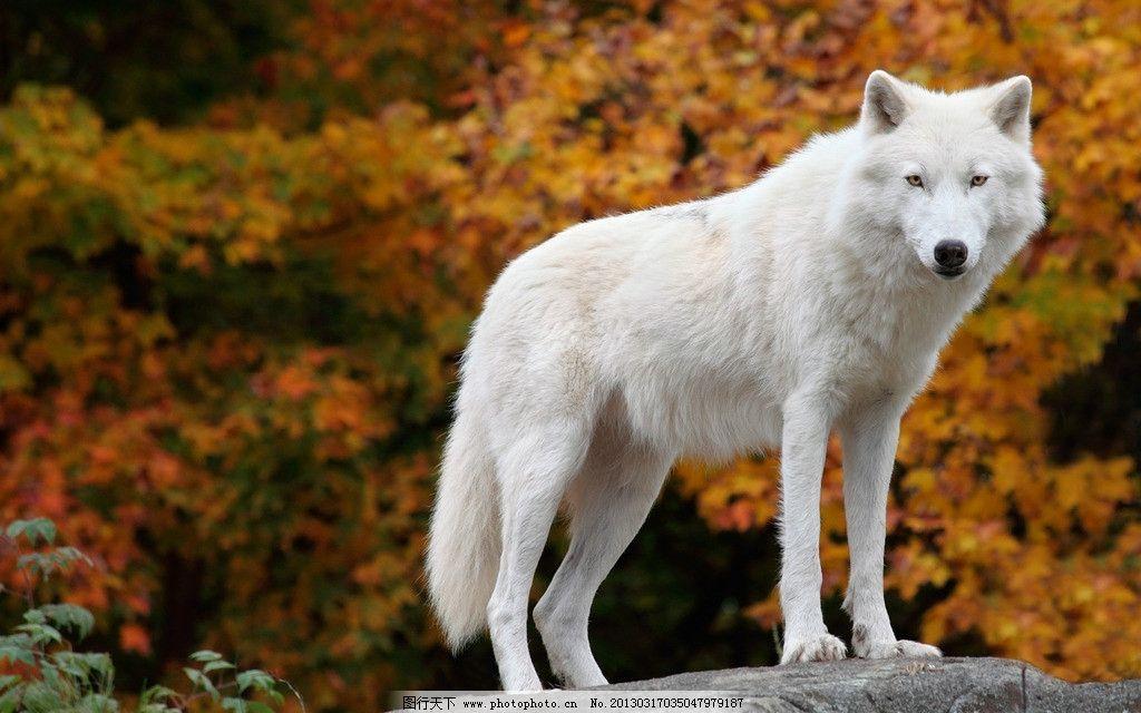 白狼 狼 大尾巴狼 秋天 山林 野生动物 生物世界 摄影 300dpi jpg