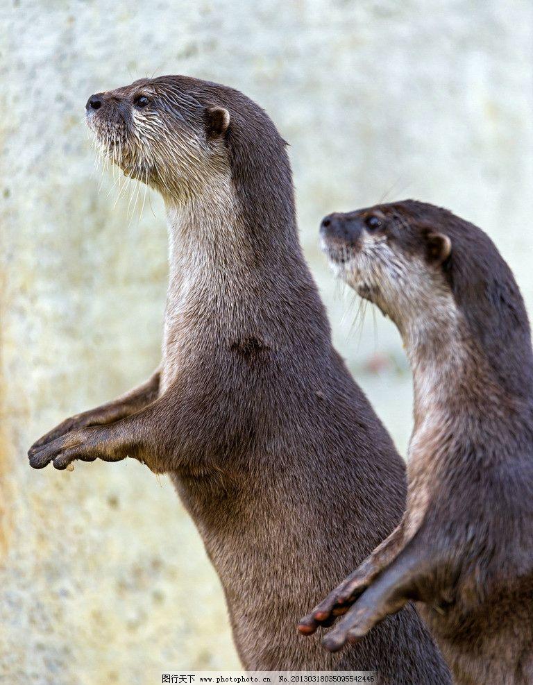 水獭动物站着图片