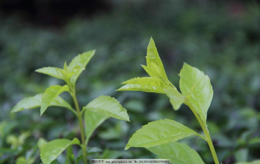 叶子 绿色 绿叶 树木树叶 生物世界 叶子特写 摄影 350dpi jpg