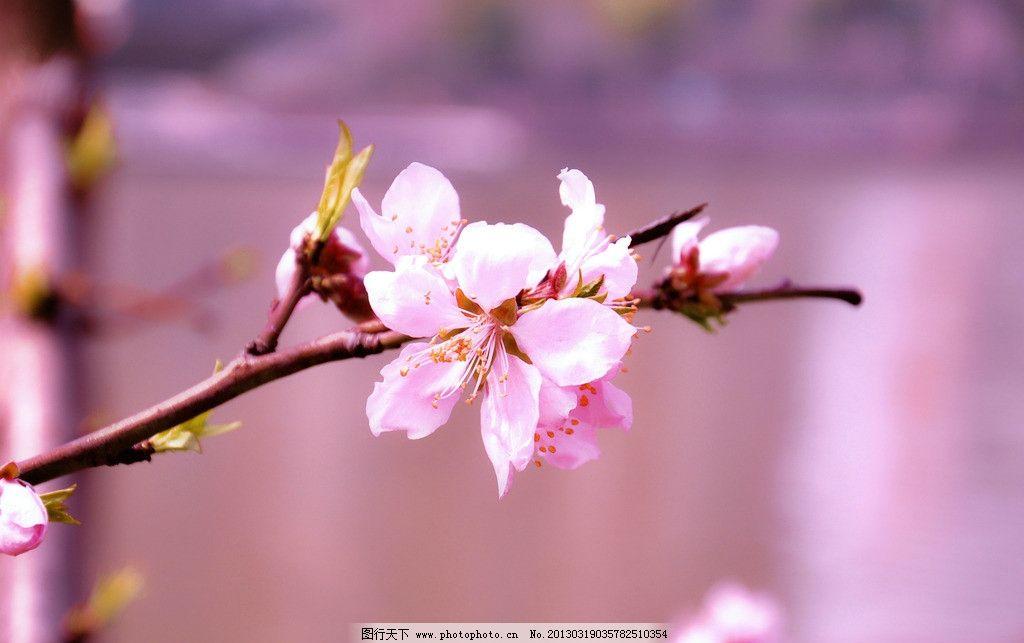 桃花 桃树 粉色花 春天 粉色 粉红 花草 生物世界 摄影 300dpi jpg