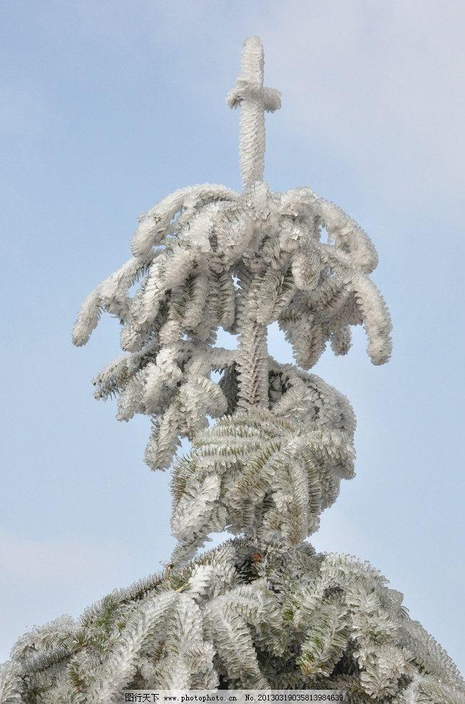 雪景特写图片,杉树 摄影-图行天下图库