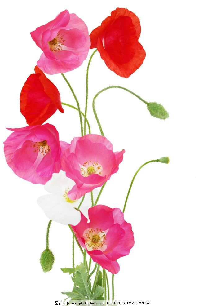 罂粟 罂粟花 花朵 鲜花 红花 红色花朵 叶子 绿叶 花梗 花草树木 花草