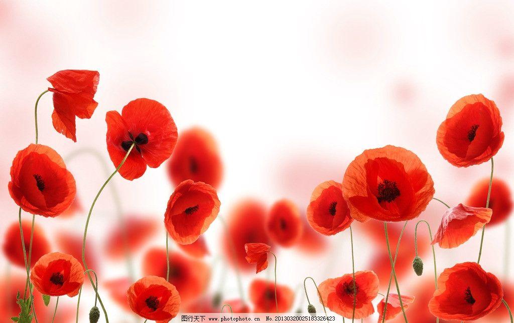 罂粟 罂粟花 花朵 鲜花 红花 红色花朵 叶子 绿叶 花草树木 花草 生物