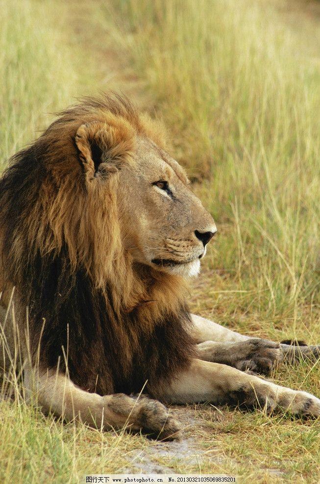 非洲雄狮 草原狮子