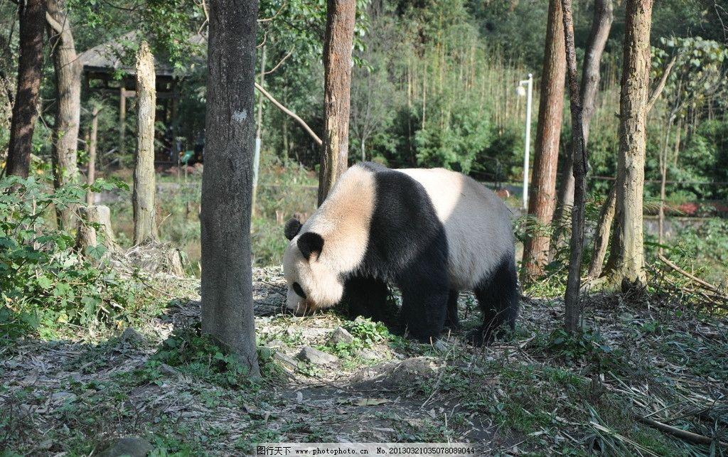 树林里的熊猫 熊猫 黑白 树林 寻找 阳光明媚 绿色 竹林 野生动物
