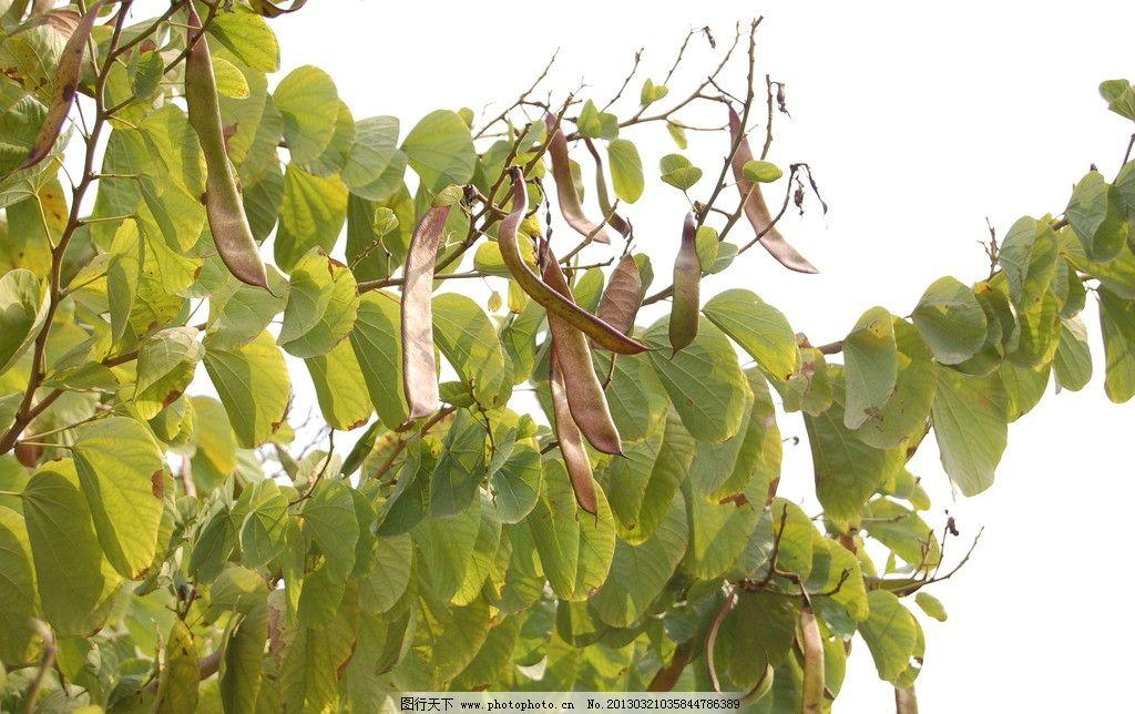 果实 叶子 刀豆 树木树叶 生物世界 摄影 300dpi jpg
