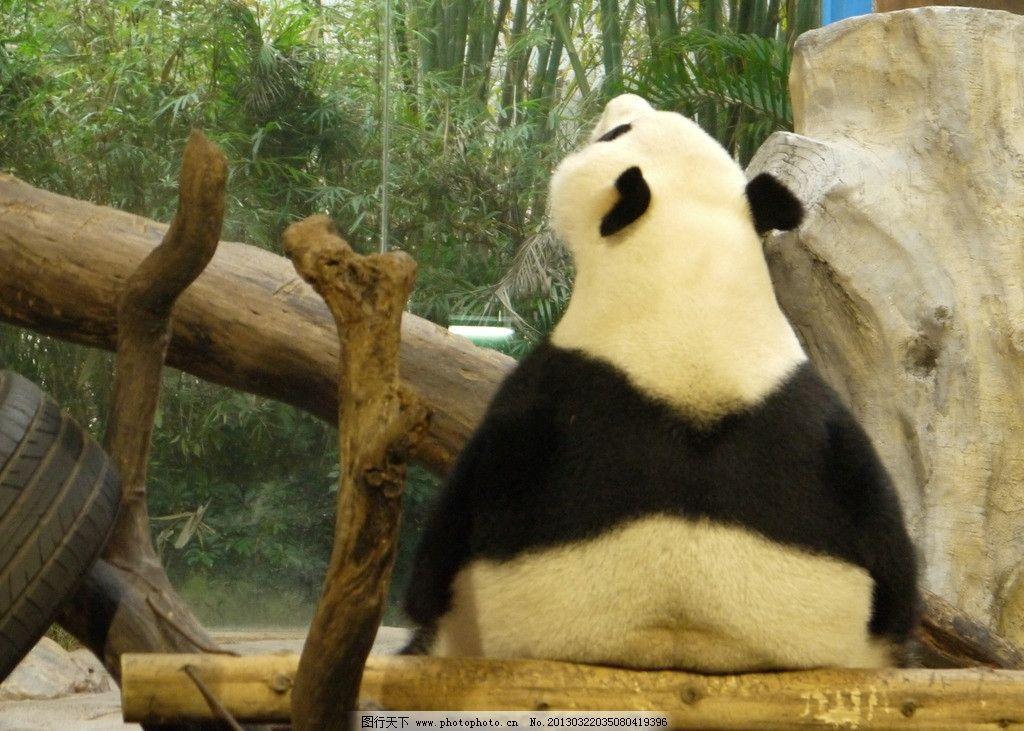 熊猫 背影 望天 动物 动物园 可爱 野生动物 生物世界 摄影 180dpi