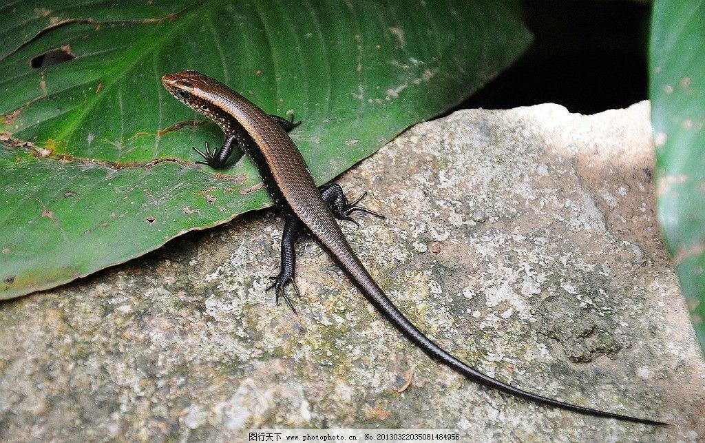 海南四脚蛇 海南 动物 四脚蛇 蜥蜴 野生动物 生物世界 摄影 300dpi