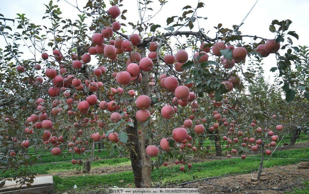 果树 喷灌 灌溉 滴灌 苹果 农业 农田 节水 农业生产 现代科技 摄影 3