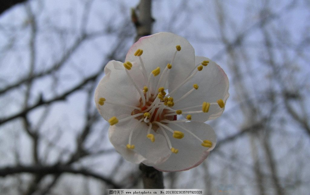 杏花 树枝 花枝 花 植物 微距 花草 生物世界 摄影 300dpi jpg