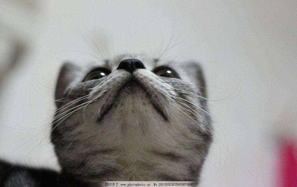 美国短毛猫 猫 可爱 黑鼻 抬头 宠物 胡子 视角 家禽家畜 生物世界 摄