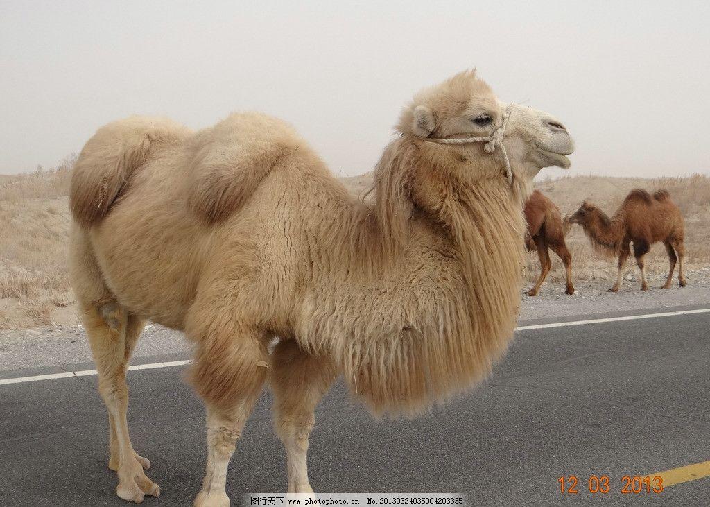 骆驼 动物 沙漠 新疆 驼队 野生动物 生物世界 摄影