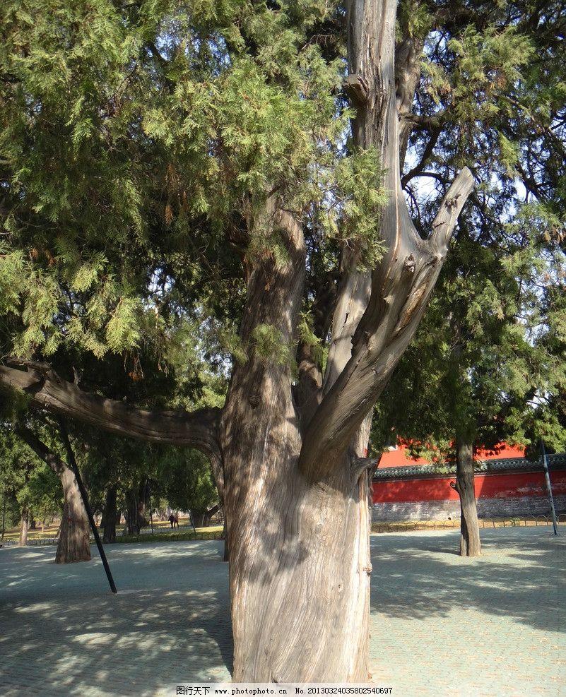 天坛古柏 柏树 古树 老树 松柏 公园 草地 皇家园林 明清古柏园
