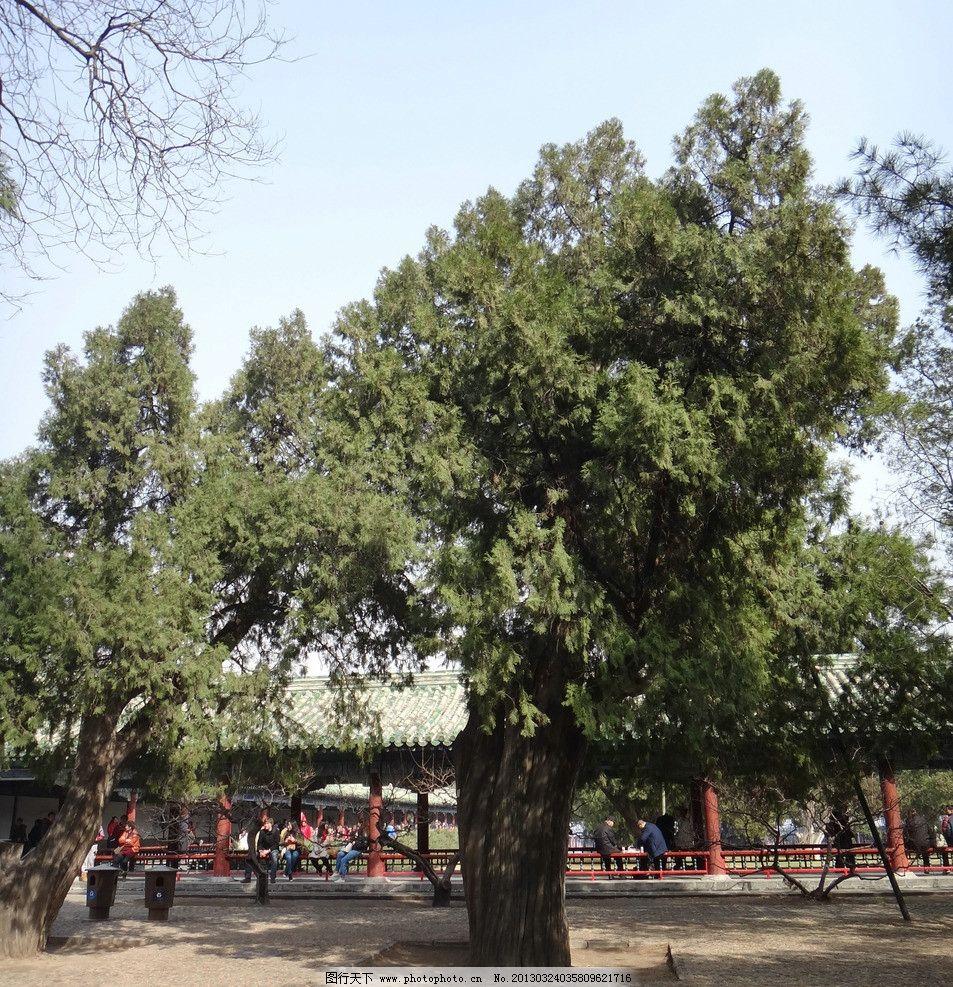 古柏 柏树 古树 老树 松柏 天坛 公园 草地 皇家园林 明清古柏园 北京