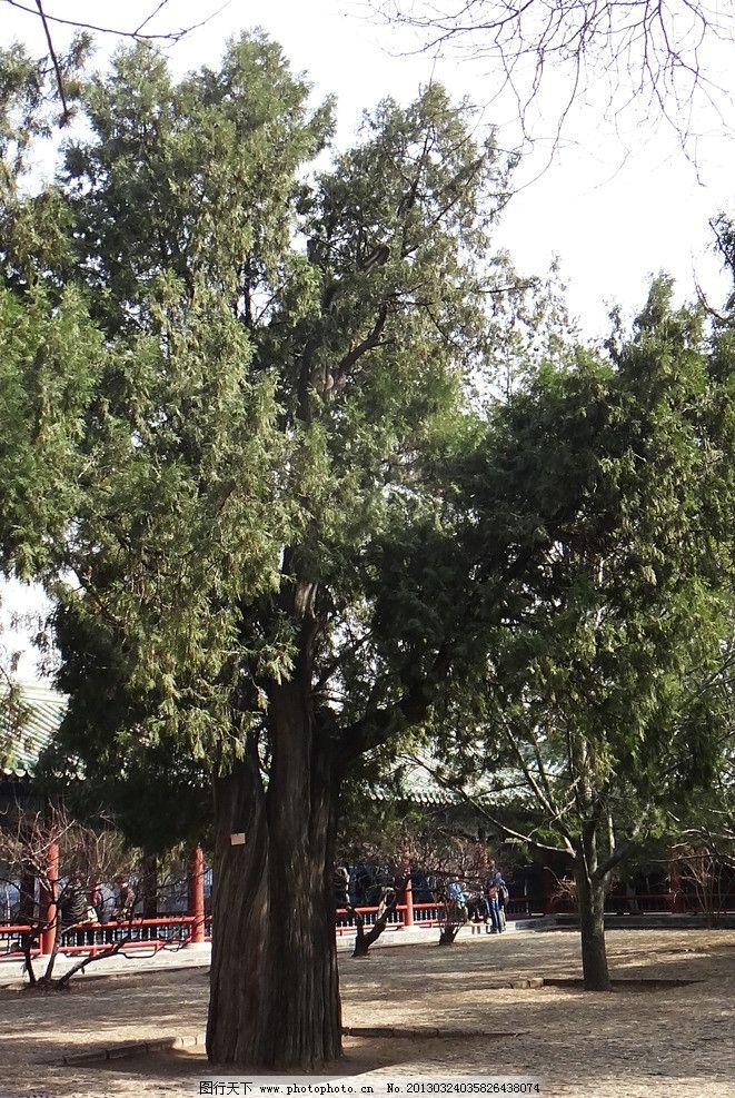 古柏与白皮松 柏树 古树 老树 松柏 天坛 公园 草地 皇家园林