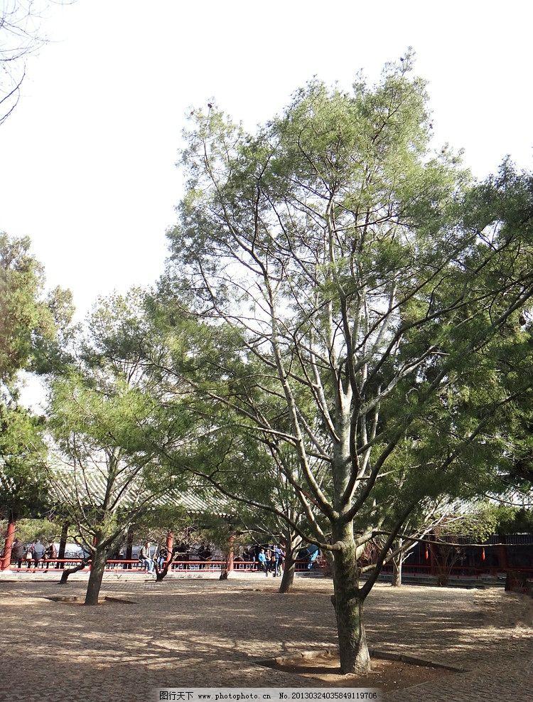 白皮松 古树 花斑树皮 老树 松柏 天坛 公园 草地 皇家园林 明清古柏