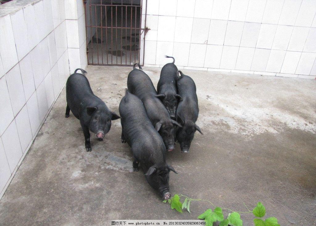 黑色猪 黑色 香猪 动物 猪圈 家禽家畜 生物世界 摄影 180dpi jpg