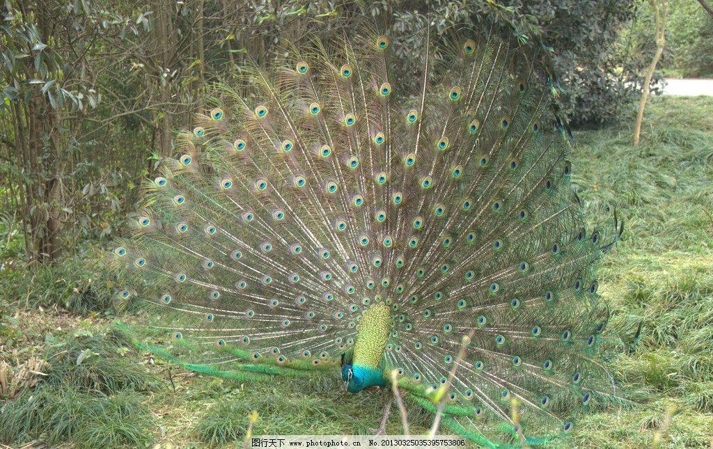 孔雀 动物园 开屏 野生 羽毛 摄影