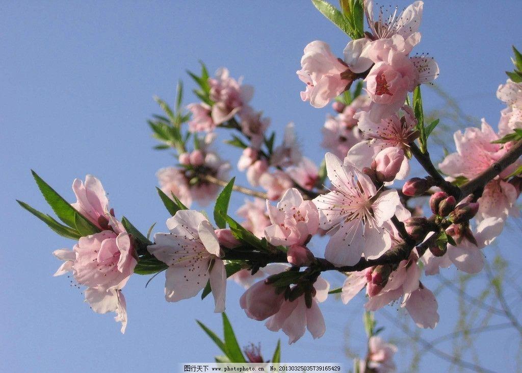 桃花的基本结构模式图