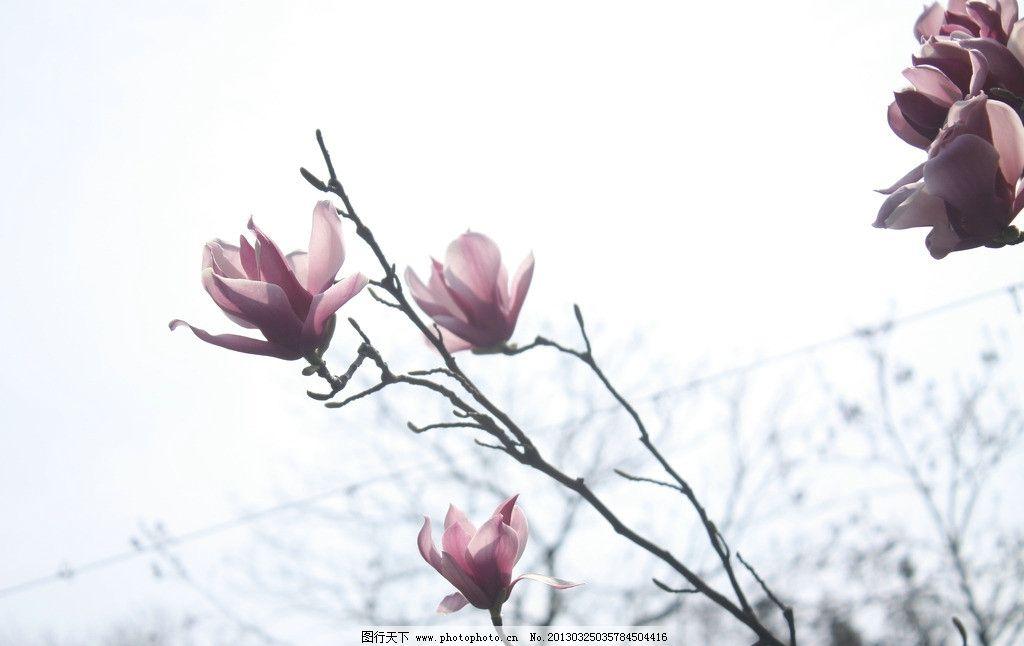 玉兰花 花朵 特写 粉红 春天 花草 生物世界 摄影 72dpi jpg