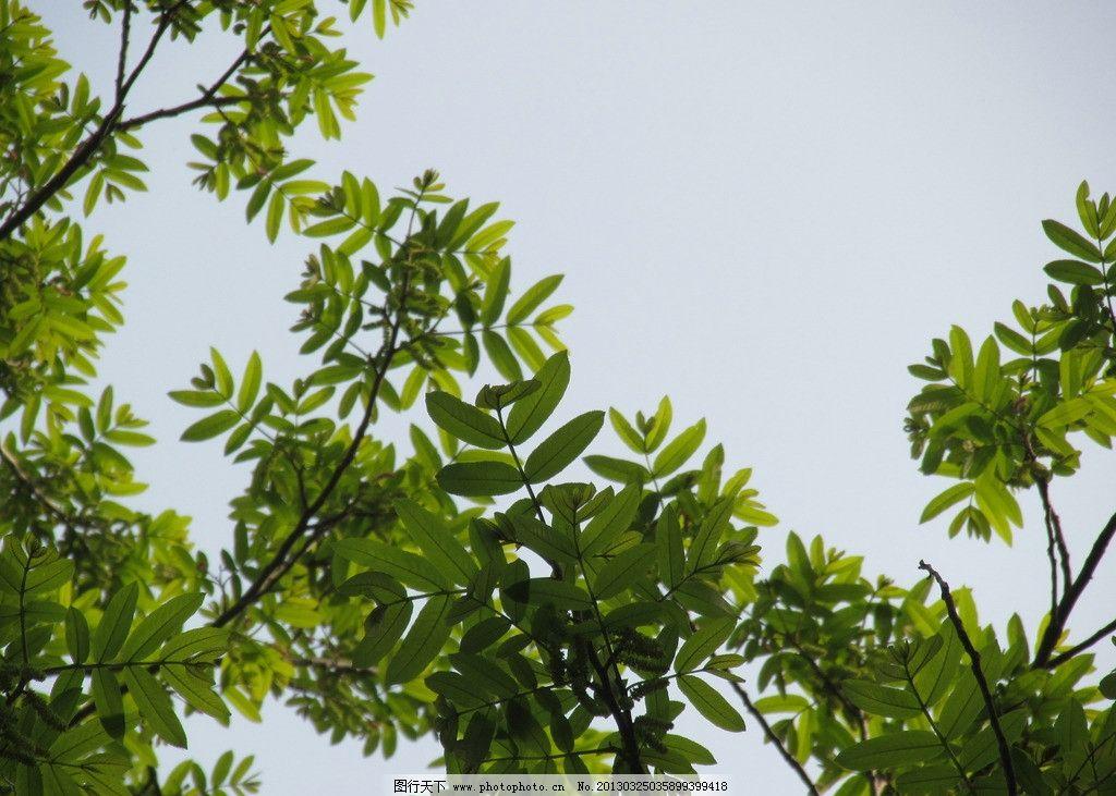 绿叶 树枝 枝丫 蓝天 春天 叶子 树木树叶 生物世界 摄影 180dpi jpg