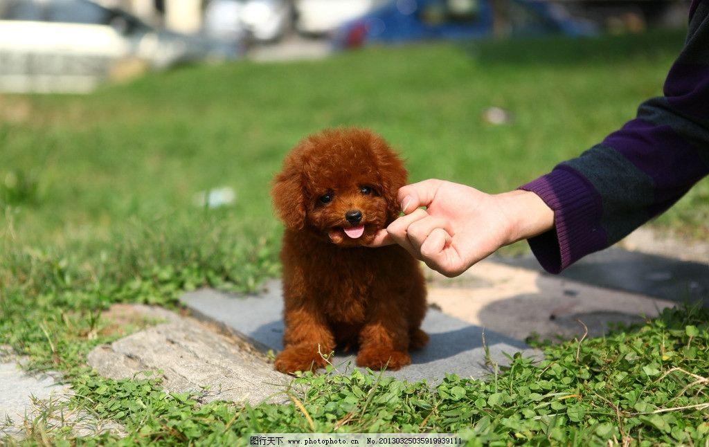 红泰迪 红色泰迪犬 纯种泰迪狗 幼犬 宠物狗狗 可爱宠物摄影 摄影