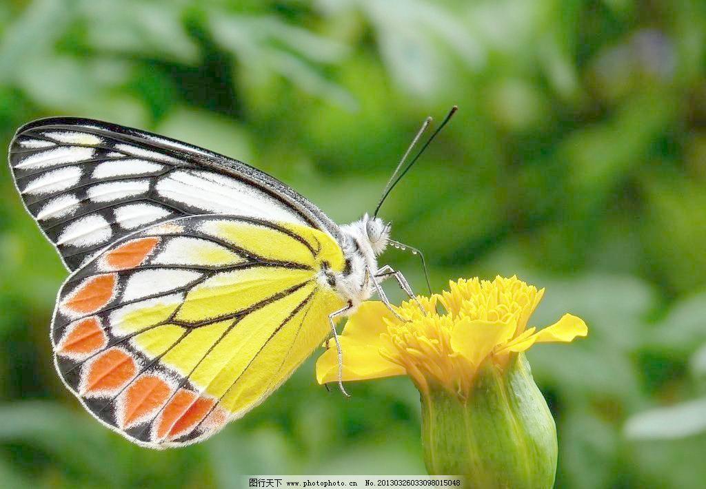 蝴蝶与花图片