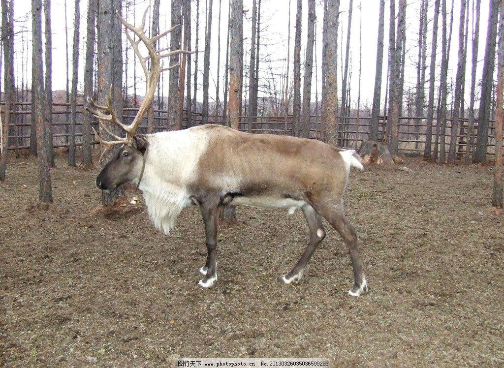 猎民饲养的驯鹿图片_野生动物_生物世界_图行天下图库