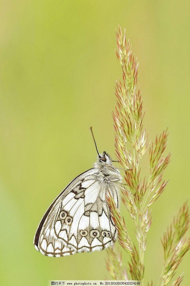 蝴蝶 草 昆虫 动物 翅膀 生物世界 动物世界 飞行 风景 绿色 唯美