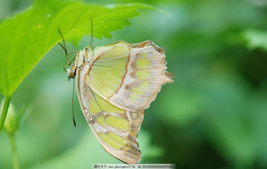 蝴蝶 昆虫 动物 翅膀 飞行 唯美 风景 绿色 生物世界 动物世界 摄影