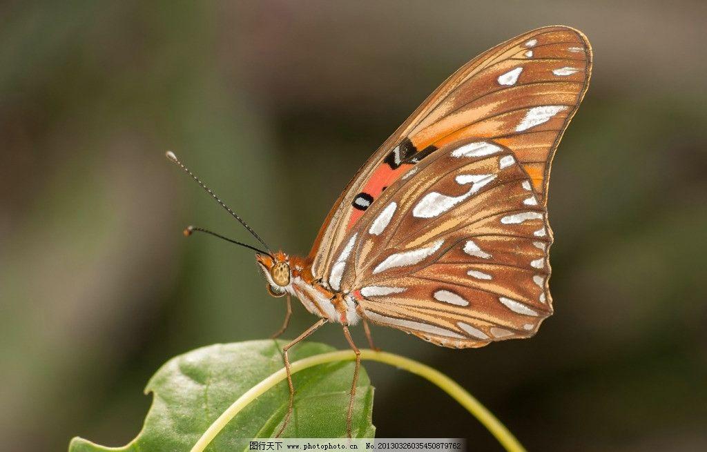 蝴蝶 昆虫 动物 翅膀 飞行 唯美 生物世界 动物世界 摄影图库 摄影 72