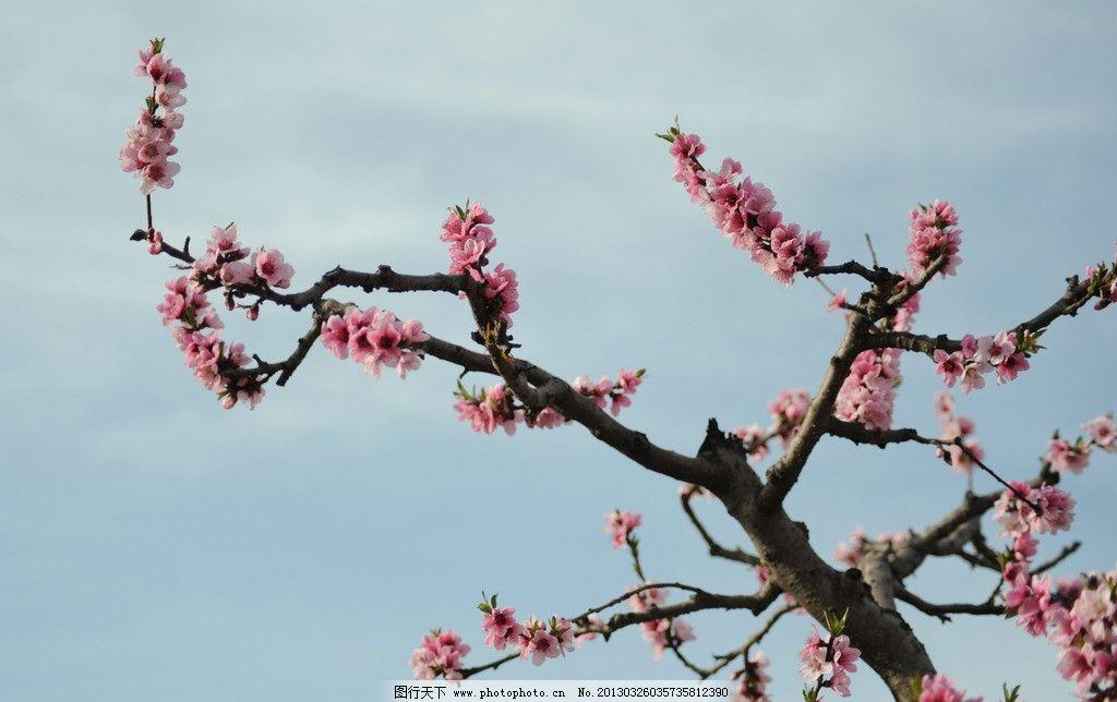 桃花 树枝 自然景观 摄影 风景 花草 生物世界 300dpi jpg