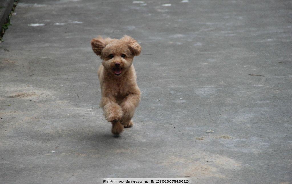 狗狗 动物 狗 动态 泰迪 奔跑 棕色 家禽家畜 生物世界 摄影 72dpi