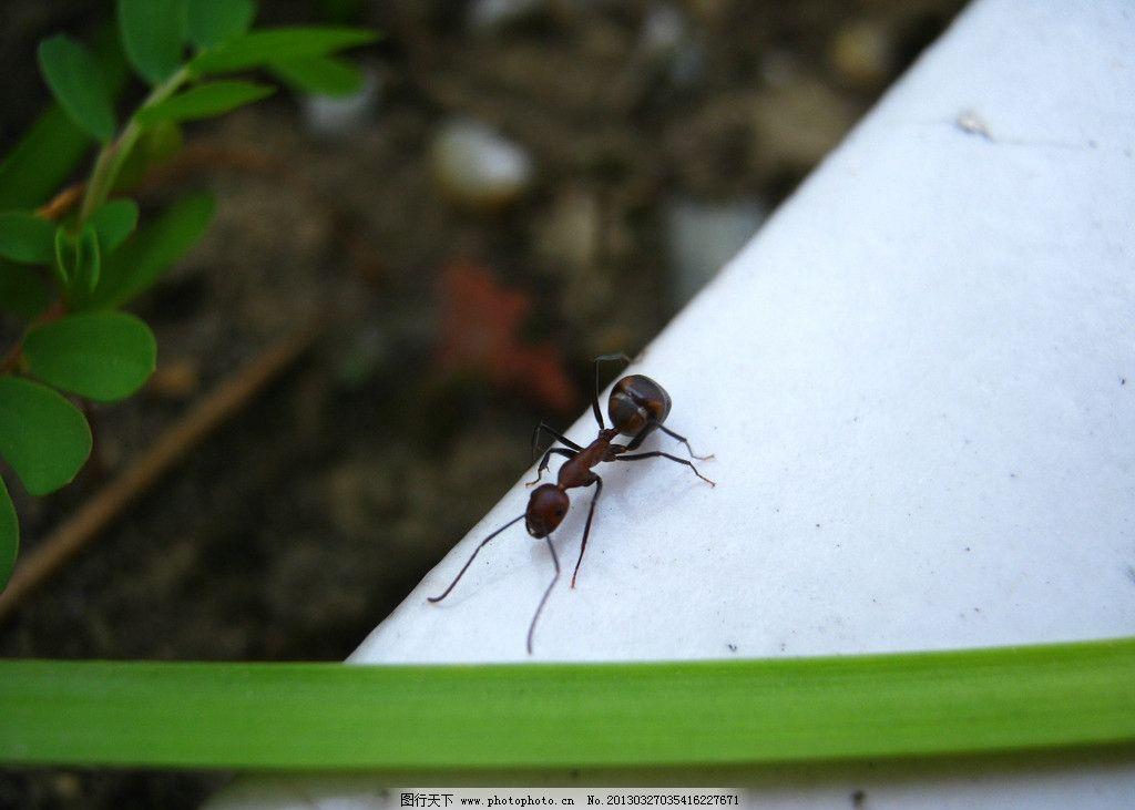 蚂蚁 动物 昆虫 爬行 花槽 小动物 生物世界 摄影 180dpi jpg
