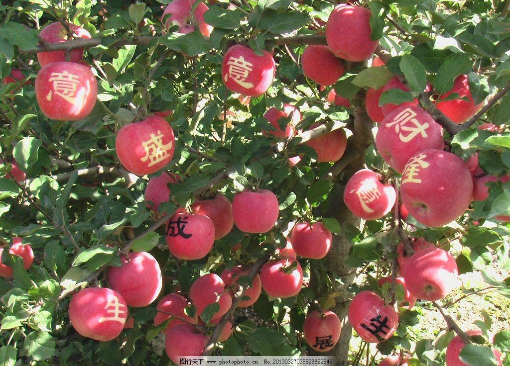 苹果 苹果树 果枝 水果 绿叶 叶子 生物世界 摄影图片