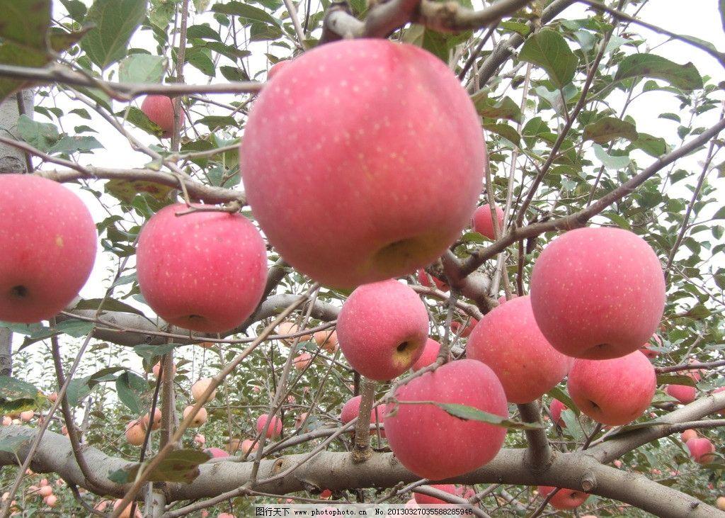 苹果 苹果树 果枝 水果 绿叶 叶子 生物世界 摄影 72dpi jpg图片