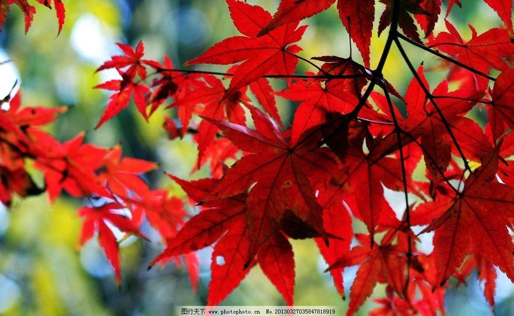 枫叶 枫树 树枝 叶子 红叶 秋天 树木树叶 生物世界 摄影 72dpi jpg