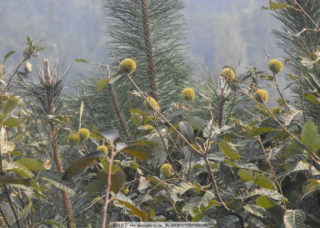 板栗树木材图片