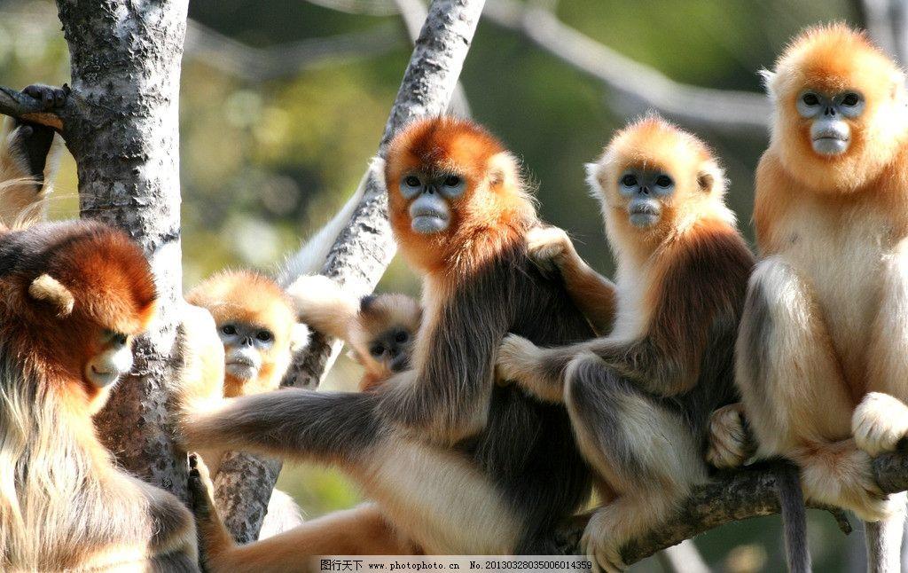 金丝猴神农架 动物 原始森林 哺乳动物 猴群 野生动物 生物世界