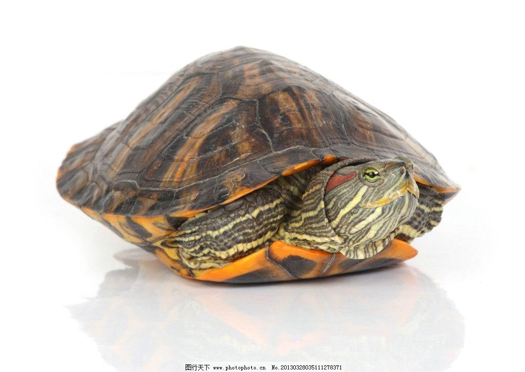 乌龟 龟壳 长命百岁 两栖动物 动物 海洋生物 生物世界 摄影 72dpi