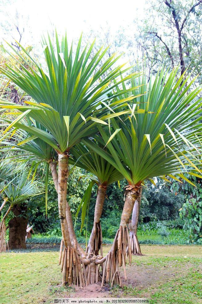 芭蕉树 曼听公园 热带植物 庭院栽培 南方植物 树木树叶 生物世界