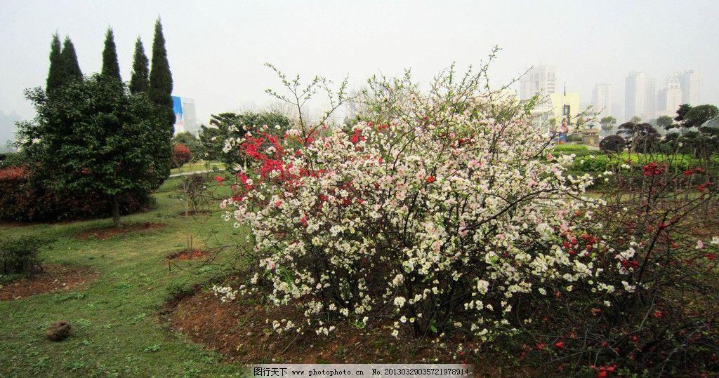 梅花 湘潭东方红广场 白色红色花 黄色花心 花蕾 红花 绿草 树木 绿叶